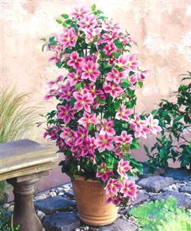 climbing plants direct