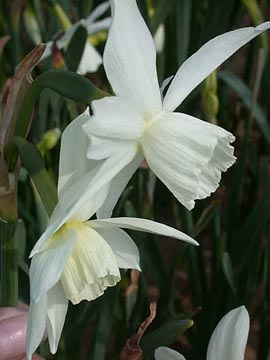 Narcissus+%27Thalia%27+%2D+Scented+Minature+White+Daffodil+++%2A+Commercial+size+bulbs+NOT+small+pre%2Dpacks++%2D++Provides+More+Even+Growth%2A