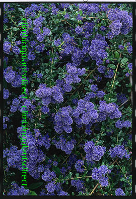 Climbing plants direct ceanothus skylark the blue jewel of the garden this evergreen hardy shrub has been container grown so can be planted at any time anad will reward you mightylinksfo