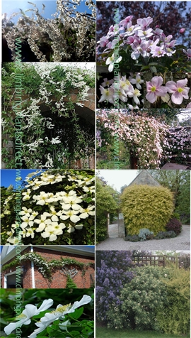 Climbing plants direct fast growing collection of climbing plants plus a free evergreen baggersens gold shrub to provide added privacy from the shrub border the ultimate mightylinksfo