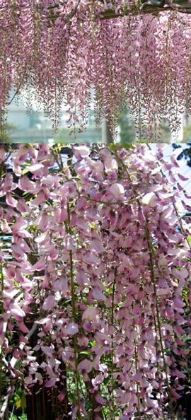 Climbing plants direct wisteria floribunda pink ice japanese wisteria this hardy climbing plant takes your breath away with stunning long scented chains of pink flowers mightylinksfo