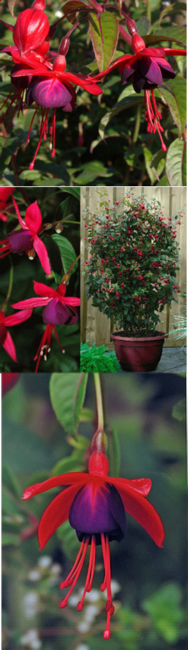 Climbing+plant+%2D+NEW+Hardy+Perennial+Climbing+Fuchsia+%27Lady+Boothby%27
