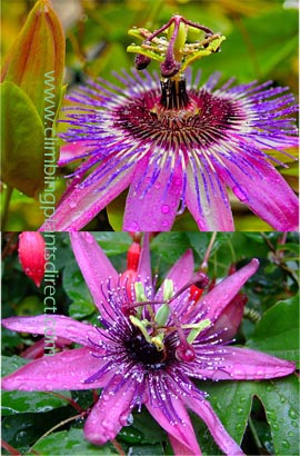 Pion Flower Piflora Purple Rain Evergreen With Glossy Dark Green Leaves On Vine This Hardy Perennial Climber Has Been Container Grown So