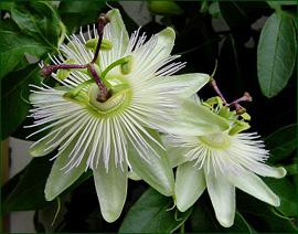 Passiflora caerulea Constance Elliott in 9cm pot White Passion Flower