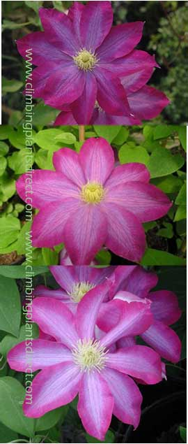 Clematis Pink Champagne Beautiful Shades Of Flower This Hardy Perennial Climber Has Been Container Grown So Can Be Planted At Any Time The