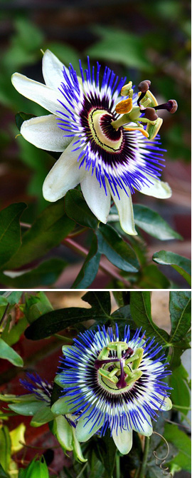 Climbing plants direct 2 x passiflora caerulea hardy blue passion flower exotic flowers orange fruits this hardy perennial climber has been container grown so can be planted mightylinksfo