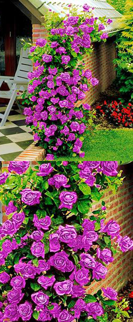 Available Now Climbing Rose Purple Climber A Beautiful Fragrant