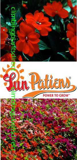 SunPatiens%AE+Vigorous+Red+X+5+Jumbo+Plug+Plants
