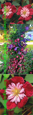 Clematis Avant-Garde ™ Evipo033.  This Hardy Climber has been container grown so can be planted at any time of the year. We despatch WITH container so the roots are safe.