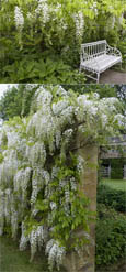 LARGE 90cm +  Wisteria floribunda 'Albai' Japanese Wisteria - THIS HARDY CLIMBING PLANT TAKES YOUR BREATH AWAY WITH STUNNING  LONG SCENTED CHAINS OF WHITE FLOWERS.