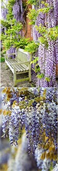 LARGE 90cm+ Wisteria Floribunda 'Burford'' - BLUE FLOWERING WISTERIA WITH VIOLET BLUE FLOWERS
