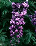 LARGE 90cm+ Wisteria 'Violacea Plena' - DOUBLE FLOWERING WISTERIA WITH DOUBLE DARK BLUE FLOWERS