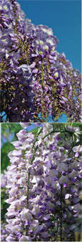 LARGE 90cm+ Wisteria floribunda 'Issai' Japanese Wisteria - THIS HARDY CLIMBING PLANT TAKES YOUR BREATH AWAY WITH STUNNING  LONG SCENTED CHAINS OF LILAC PURPLE FLOWERS.