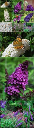 NEW ENGLISH BUTTERFLY SERIES - 3 plant collection- Dwarf Buddlejas with Long Fragrant Flower Spikes