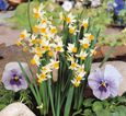 Narcissus 'Canaliculatus' - minature daffodils   SCENTED FLOWERS * Commercial size bulbs NOT small pre-packs  -  Provides More Even Growth*