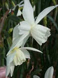 Narcissus 'Thalia' - Scented Minature White Daffodil   * Commercial size bulbs NOT small pre-packs  -  Provides More Even Growth*