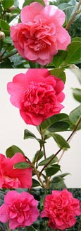 Camellia x williamsii 'Anticipation' - This EVERGREEN climbing plant has been container grown so can be planted at any time of the year.