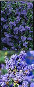 Ceanothus 'Italian Skies' - The BLUE JEWEL of the garden. This EVERGREEN hardy shrub has been container grown so can be planted at any time anad will reward you all year round.  We despatch WITH container so the roots are safe.