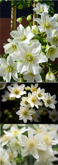 Clematis 'Cartmanii Joe'- , EVERGREEN Clematis, easy to grow, giving you winter pleasure.  This Hardy Perennial Climber has been container grown so can be planted at any time of the year.We despatch WITH container so the roots are safe.