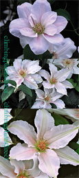 Clematis Chantilly ™ Evipo021 Compact and Scented so great for Patio Containers. This Hardy Perennial Climber has been container grown so can be planted at any time of the year. We despatch WITH container so the roots are safe.