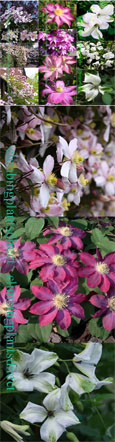 CONTINUITY OF COLOUR COLLECTION- Our NEW 3 plant collection.  These Hardy Perennial Climbers have been container grown so can be planted at any time of the year.  We despatch WITH container so the roots are safe