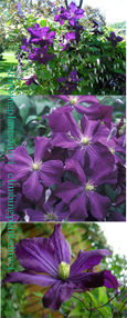 Clematis Galore ™ Evipo032 FREE FLOWERING This Hardy Perennial Climber has been container grown so can be planted at any time of the year. We despatch WITH container so the roots are safe.
