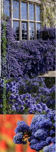Ceanothus 'Blue Sapphire' - Blue, and Chocolate too . This EVERGREEN hardy shrub has been container grown so can be planted at any time and will reward you all year round.  We despatch WITH container so the roots are safe.