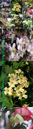 SCENTED CLIMBERS FOR EVERY SEASON- 3 Plant Collection-  These Hardy Perennial Climbers have been container grown so can be planted at any time of the year.  We despatch WITH container so the roots are safe