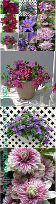 CLEMATIS FOR SMALL SPACES - Our NEW 3 Plant PATIO Collection. These Hardy Perennial Climbers have been container grown so can be planted at any time of the year.  We despatch WITH container so the roots are safe