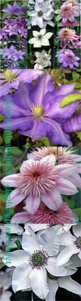 SUNNY WALL LOVING CLEMATIS- Our NEW 3 plant collection for this year. These Hardy Perennial Climbers have been container grown so can be planted at any time of the year.  We despatch WITH container so the roots are safe