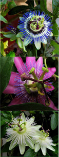 AVAILABLE NOW - Climbing Plants x 3 Offer- Passion Flower Promotion - Hardy Plants with Exotic Flowers and EVERGREEN GLOSSY FOLIAGE