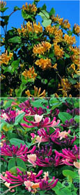 Climbing Plants x 2 Offer - Evergreen Foliage & Scented Flowering Honeysuckle. MASSES OF HIGHLY HEAVENLY SCENTED FLOWERS WITH RICH DARK GREEN LEAVES!