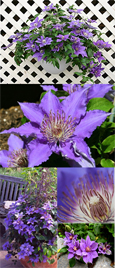 Clematis Bijou™  - New Introduction. Compact habit so great for Patio Containers. FLOWERS TWICE EACH YEAR! This Hardy Perennial Climber has been container grown so can be planted at any time of the year. We despatch WITH container so the roots are safe.