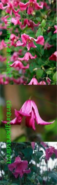Clematis Confetti  ™ 'Evipo036' (N).  This Hardy Perennial Climber has been container grown so can be planted at any time of the year. We despatch WITH container so the roots are safe.