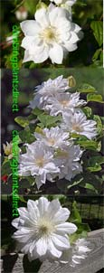 Clematis Duchess of Edinburgh.  This Hardy Perennial Climber has been container grown so can be planted at any time of the year. We despatch WITH container so the roots are safe.