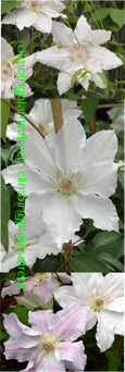 Clematis Hyde Hall ™ Evipo009 This Hardy Perennial Climber has been container grown so can be planted at any time of the year. We despatch WITH container so the roots are safe.