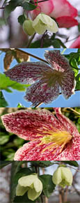 Climbing Plants x 2 Offer- Clematis cirrhosa 'Jingle Bells' and Clematis cirrhosa 'Freckles'' - SIMPLY TWO OF THE BEST EVERGREEN & SCENTED CLEMATIS!