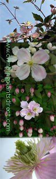 Clematis montana Giant Star * NEW INTRODUCTION * Mile-A-Minute  - HEAVENLY VANILLA SCENT- This Hardy Perennial Climber has been container grown so can be planted at any time of the year.  We despatch WITH container so the roots are safe