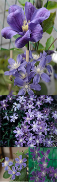 Clematis 'Arabella' - Perfect for patio containers.  This Hardy Perennial Climber has been container grown so can be planted at any time of the year. We despatch WITH container so the roots are safe.
