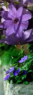 Clematis ' Blue eyes' - * RESTFUL COLOUR IN SKY BLUE* - This Hardy Perennial Climber has been container grown so can be planted at any time of the year.  We despatch WITH container so the roots are safe.
