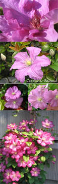 Clematis 'Comtesse de Bouchaud' - * MASSES OF SHELL-PINK FLOWERS  AND RHS AWARD OF GARDEN MERIT!* - This Hardy Perennial Climber has been container grown so can be planted at any time of the year.  We despatch WITH container so the roots are safe.