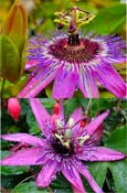AVAILABLE NOW -  Passion flower - Passiflora 'Purple Rain'  EVERGREEN with glossy dark green leaves on mature vine. This Hardy Perennial Climber has been container grown so can be planted at any time of the year.