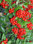 2X Pyracantha 'Mohave Red' - Evergreen Wall Shrub. Spring flowers and Autumn / Winter red berries