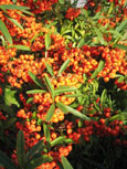 2X Pyracantha 'Orange Glow' - Evergreen Wall Shrub. Spring flowers and Autumn / Winter Orange berries