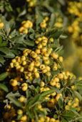 2X Pyracantha 'Soleil d'Or' - Evergreen Wall Shrub. Spring flowers and Autumn / Winter light golden berries