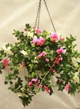 ARTIFICIAL TRAILING GERANIUM  HANGING BASKET IN  PINK AND CREAM SHADES - INSIDE OR OUTSIDE USE - JUST HANG AND ENJOY!