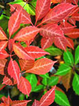 5 xParthenocissus quinquefolia - 'Virginia Creeper' - EASY TO GROW SHOWSTOPPER!  Masses of lush foliage from early spring right through to early winter & an AWARD WINNER too! - RHS AGM . This Hardy Perennial Climber can be planted at any time of the year.