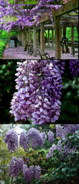 Wisteria 'Sinensis Prolific' Chinese Wisteria RHS AGM- THIS HARDY CLIMBING TAKES YOUR BREATH AWAY WITH STUNNING SCENTED BLUE-VIOLET FLOWERS.